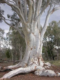 Eucalyptus rossii Australian Native Flowers, Magical Tree, Eucalyptus Tree, Unique Trees, Old Trees, Unusual Plants, Tree Trunks, Nature Tree, Big Tree