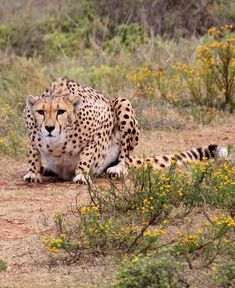 Picture of a cheetah on the hunt.
