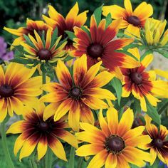 Wilko Seeds Rudbeckia Gloriosa Dasies