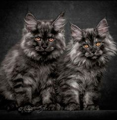Photographer Robert Sijka depicts the breed of Maine coon cats for who they really are—majestic, mythical creatures. How would you like them as pets? Pretty Cats, Beautiful Cats, Animals Beautiful, Cute Animals, Gatos Maine Coon, Maine Coon Kittens, Kittens Cutest, Cats And Kittens, Cats Bus