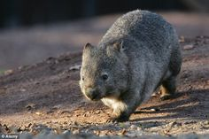 Mass grave found of 'giant wombats' - each the size of a RHINO ...