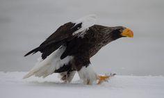Steller's sea eagle (Haliaeetus pelagicus) Different Types Of Eagles, Steller's Sea Eagle, Birds Of Prey, Raptors, Pet Birds, Bald Eagle, Japan Japan, Art Reference, Wildlife