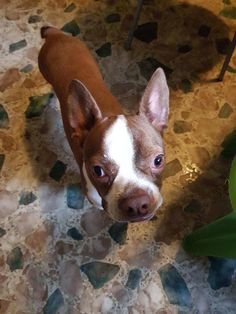 Boston Terrier dog for Adoption in Plano, TX. ADN-667487 on PuppyFinder.com Gender: Male. Age: Adult