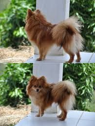 German Spitz have an alert face with oval eyes. An intelligent face is a breed function.