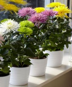 Chrysant kamerplant -   Deze plant zuivert de lucht van koolwaterstoffen die vrijkomen uit wierook(staafjes) en geurkaarsen, bepaalde luchtverfrissers en sommige etherische oliën.