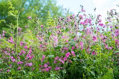 Silene dioica, known as red campion and red catchfly
