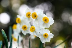 Narcissus.  Hey, it was spring.