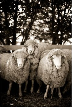 ...which bore to be a sound of far-off piteous bleat of lambs and sheep