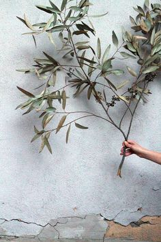 An olive tree, one of Athena's symbol represents peace, although Athena is the goddess of war