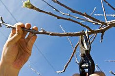 Image result for pruning apple trees