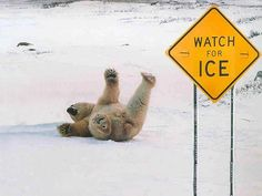 """The polar bear slips on the ice just in front of the sign that says """"Watch for Ice"""". Polar bears can't read though! Funny Shit, Funny Cute, The Funny, Funny Stuff, Super Funny, Doug Funnie, Animal Pictures, Funny Pictures, Funny Animals"""