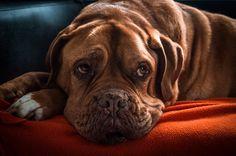 Krebs bei Hunden – Warum es immer mehr wird