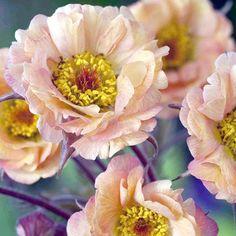 Geum Plant - Mai Tai - Perennial Plants - Garden - Dobies of Devon