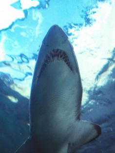 one can nearly stroke this sharks belly! Two Oceans Aquarium, V Waterfront