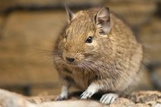 Degus are really cute. They are small and furry and, if you are like most people, you probably have never heard of them. Get the 411 on Degus on www.animalhub.com! | Animal Hub
