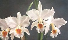 7 Catelyia Orchid Ideas Orchid Flower Cattleya Orchids