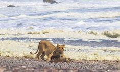 A lioness feeds on a Cape fur seal in Namibia's Skeleton Coast Marine Diet, Lion Diet, Tiger Conservation, Wild Nature, Sea Birds, African Elephant, Big Cats, Animal Kingdom, Hunting
