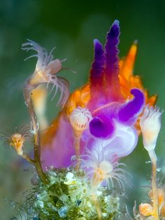 Nudibranch eating a hydroid. These are earth creatures...there are so many creatures under the sea that we know so little about that they seem like fantasy creatures or aliens!  I think that's awesome