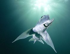 Elephant Shark
