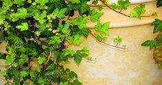 Edera: Come coltivare e mantenere l'arbusto sempreverde? L'edera è una pianta perenne sempreverde e facile da coltivare. Longeva in virtù...