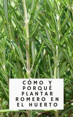 Rosemary is not only an amazing addition to our food, but also have baffling health benefits! Check how to grow Rosemary and why you should! Herb Garden, Vegetable Garden, Garden Plants, Herb Plants, Organic Gardening, Gardening Tips, Rosemary Herb, Growing Herbs, Plantation