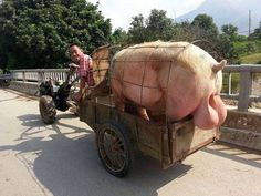 Pig with big testicles