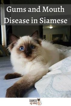Jan 2020 - Siamese cat common medical disorders, like Gums and Mouth Disease, Eye Problems, Kidney issues and Vestibular illness and more. Siamese Kittens, Kittens Cutest, Cats And Kittens, Funny Kittens, Bengal Cats, White Kittens, Kitty Cats, Cat Care Tips, Pet Care