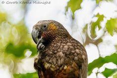New Zealand, Owl, Birds, Weapons Guns, Animales, Owls, Bird