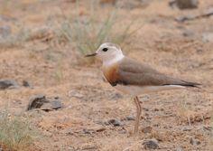 BIRDS OF MONGOLIA - Dorniin xiazat - Oriental Plover - Charadrius veredus