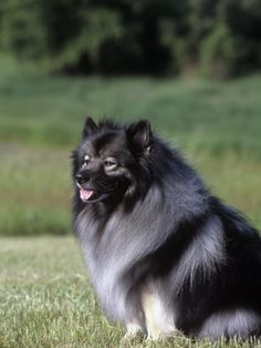 I will have one soon enough #keeshond
