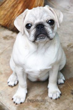 """Receive fantastic recommendations on """"silver pugs"""". They are readily available for you on our web site. Cute Pugs, Cute Funny Animals, Funny Pugs, Pet Pug, Pug Puppies, Pug Pictures, Funny Animal Pictures, White Pug, Pugs And Kisses"""