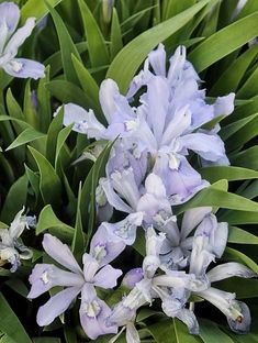 Iris cristata 'Mountain Girl' Mountain Girl Crested Wood Iris - grows best in rich, slightly moist woodland soil. Iris Flowers, Colorful Flowers, Flower Pots, Planting Flowers, Beautiful Flowers, Flowering Plants, Blue Flowers, Fairy Garden Plants, Cottage Garden Plants