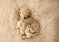© Marci Yochum Photography | Daily Dog Tag | Goldendoodle-puppy