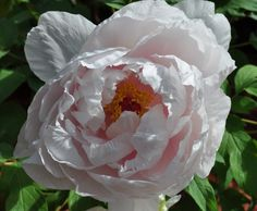 Once a Year, The Peonies Bloom— Peony, Spring Time, Delicate, Bloom, Rose, Flowers, Plants, Pink, Peonies