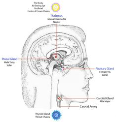 The Gland-Chakra-Related Centres in the Neck and Brain.