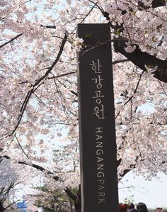 Cherry blossom viewing in Hangang Park in Seoul, South Korea