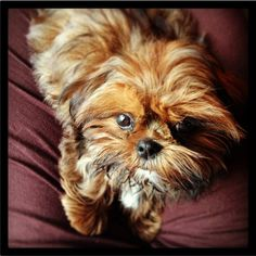 Just look at that face!  Thor, professional mischief maker, trickster extraordinaire, mini Shih Tzu, tiny bundle of fun!