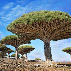 The dragonblood trees in Yemen