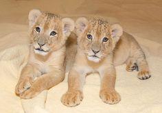 Southwick Zoo's Little Lion Cubs