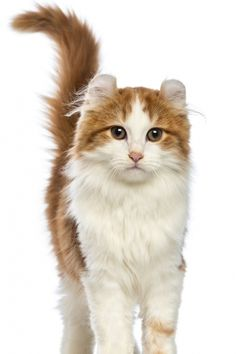 American Curl Cats at www.coolcattreehouse.com