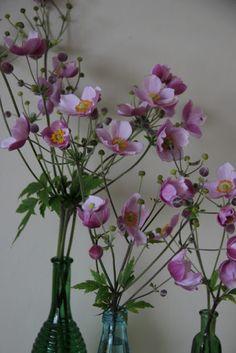 HØSTANEMONE / Anemone hupehensis 'Splendens' og anemone japonica 'Königin Charlotte'.