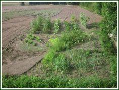 """La semina della settimana scorsa ha già avuto dei risultati, è infatti cresciuta la rucola e si intravedono le piantine di carote. Forse abbiamo seminato, come al solito, un po' troppo fisso, ma meglio abbondare che deficere. Altre piantine che hanno fatto progressi sono state l'insalata riccia e i pomodori pelati. Tutte le altre piante sono cresciute ma senza risultati interessanti. Abbiamo tolto la misticanza in quanto al taglio usciva il """"latte"""" significa che non è più buona da mangiare."""