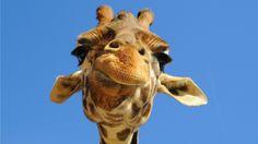 YOUR BLOG TIME: Giraffe time (Hora de la jirafa)