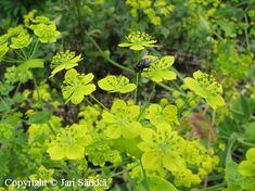 KULTAJÄNÖNPUTKI -  HARÖRT Bupleurum longifolium ssp. aureum. Kukinnon väri: kellanvihreä. Kukinta-aika: heinä-syyskuu. Valovaatimus: aurinkoinen. Korkeus: 80 cm. Kestävyys: melko kestävä. Särkän taimistolta.