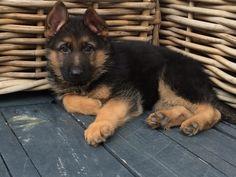 GSD Puppy-Ron