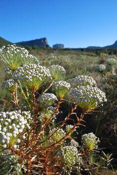 Marcio Papi Vegetação tipica do cerrado encontrada nos campos gerais do PN Chapada Diamantina, em Palmeiras/BA. Parque Nacional da Chapada Diamantina