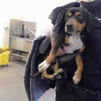 Pictures of a Beagle for adoption in Phoenix, AZ who needs a loving home.