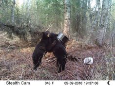 Trail Cam Tuesday: 15 Cool Captures Submitted by Our Readers Black Bear, Animal Photography, Tuesday, Trail, Animals, Animales, American Black Bear, Nature Photography, Animaux