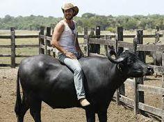 Bufalos na Ilha de Marajo - Pesquisa Google