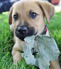 ... Lab Mixes on Pinterest | Boxer Lab Mixes, Husky Lab Mixes and Lab Mix